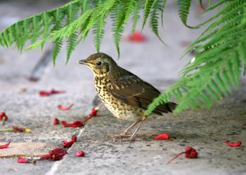 Thrush by Terry Dunstan