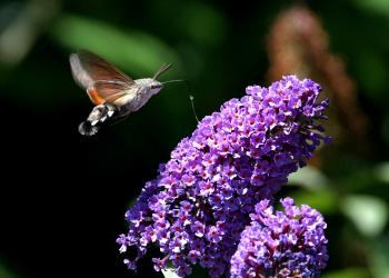 Hummingbird hawk-moth by Terry Dunstan